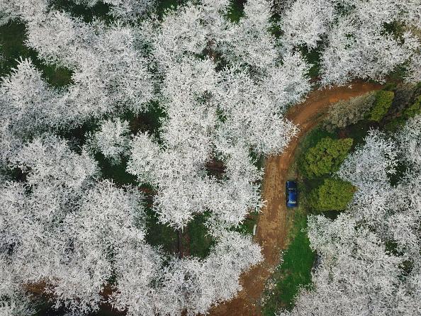 cherry-blossoms-road.jpg