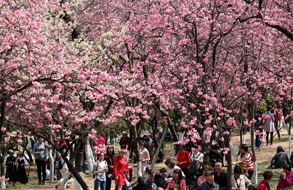 yunnan-cherry-blossoms.jpg