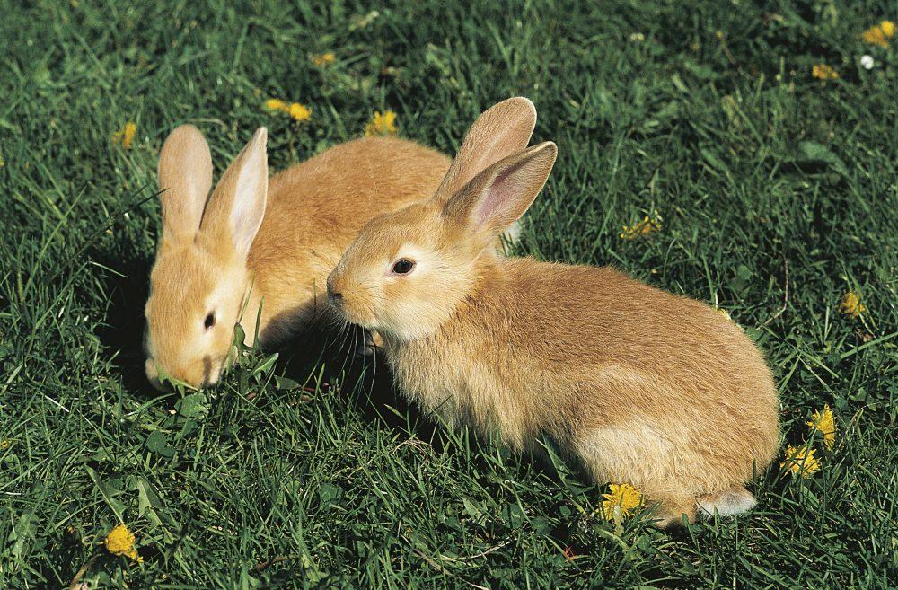 European rabbit or Common rabbit