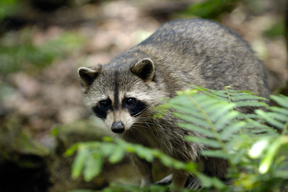 """Reports of """"zombie-like"""" raccoons have been plaguing Ohio."""