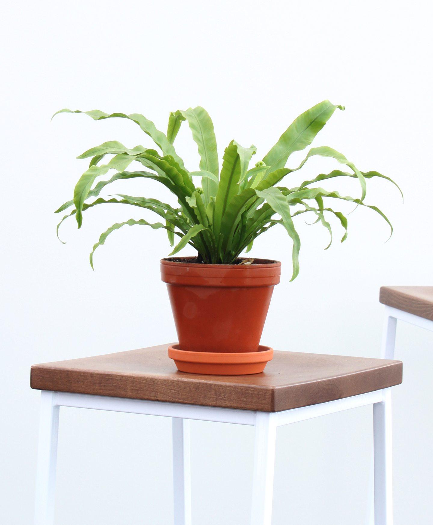 picture-of-birds-nest-fern-houseplant-photo1