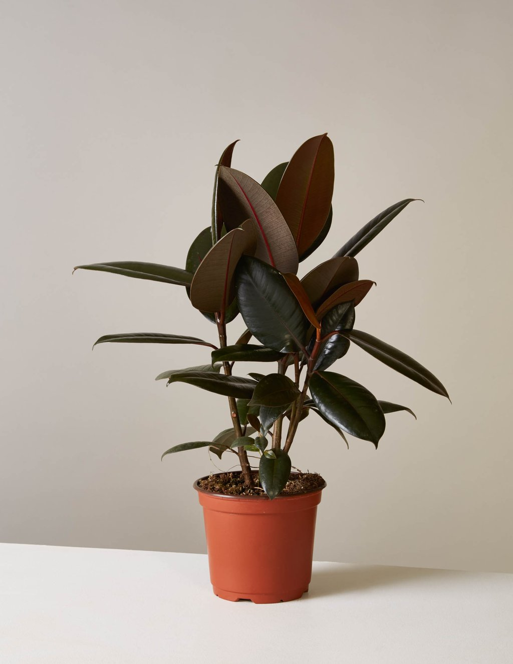 picture-of-burgundy-rubber-tree-houseplant-photo