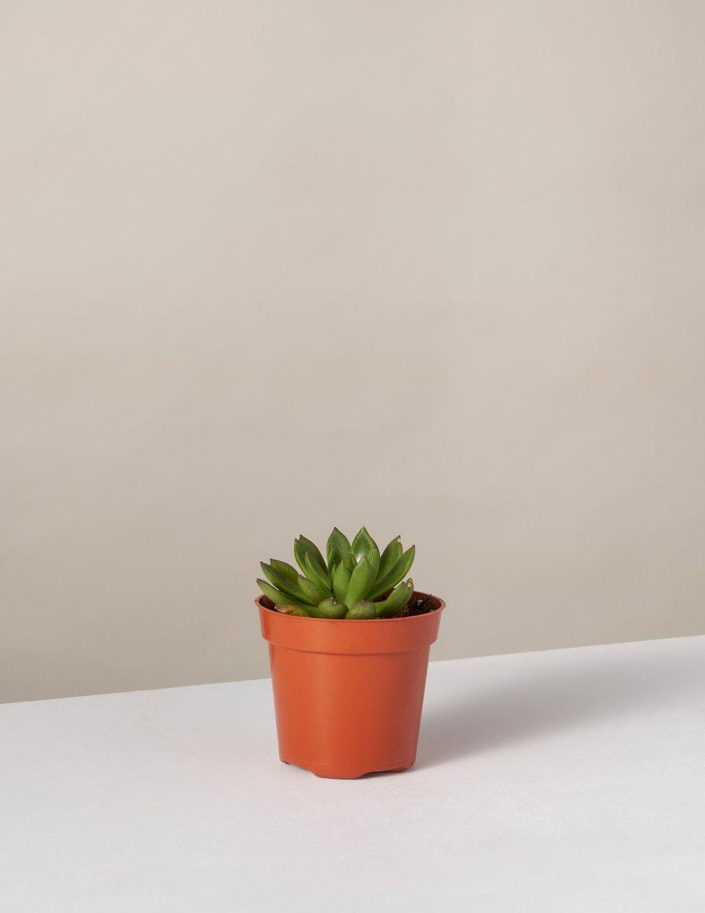 picture-of-echeveria-houseplant-photo