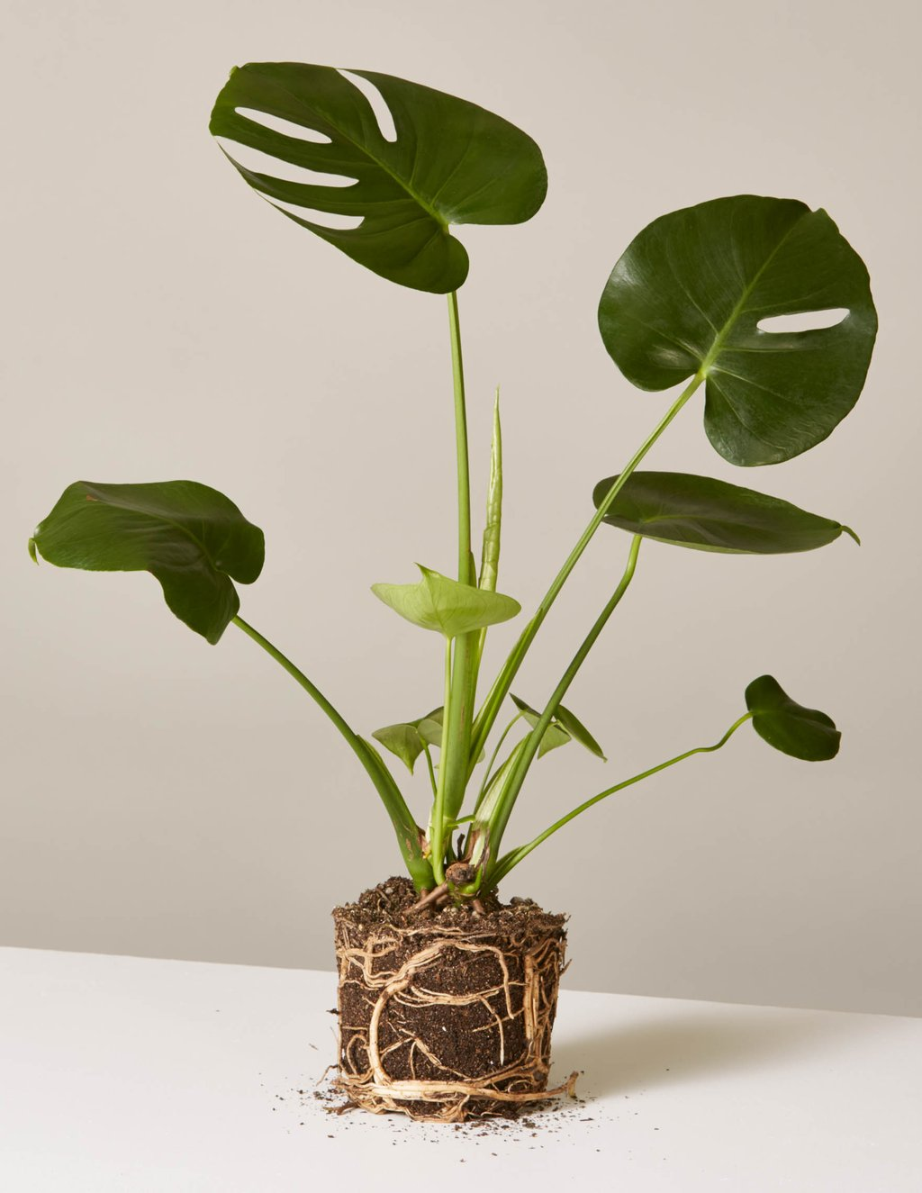 picture-of-monstera-houseplant-photo6
