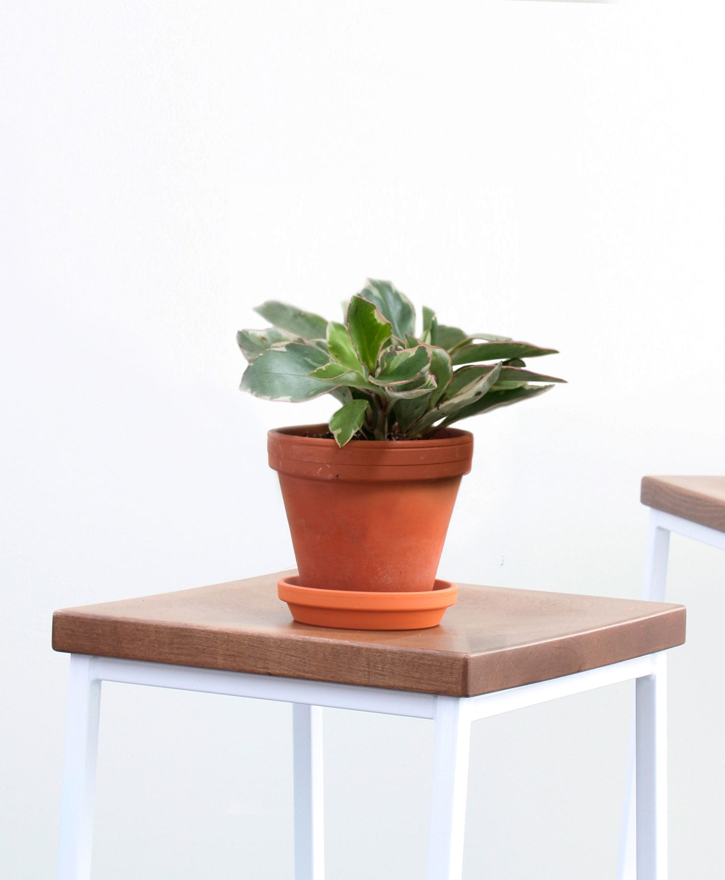 picture-of-peperomia-ginny-houseplant-photo1