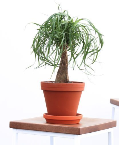 picture-of-ponytail-palm-houseplant-photo