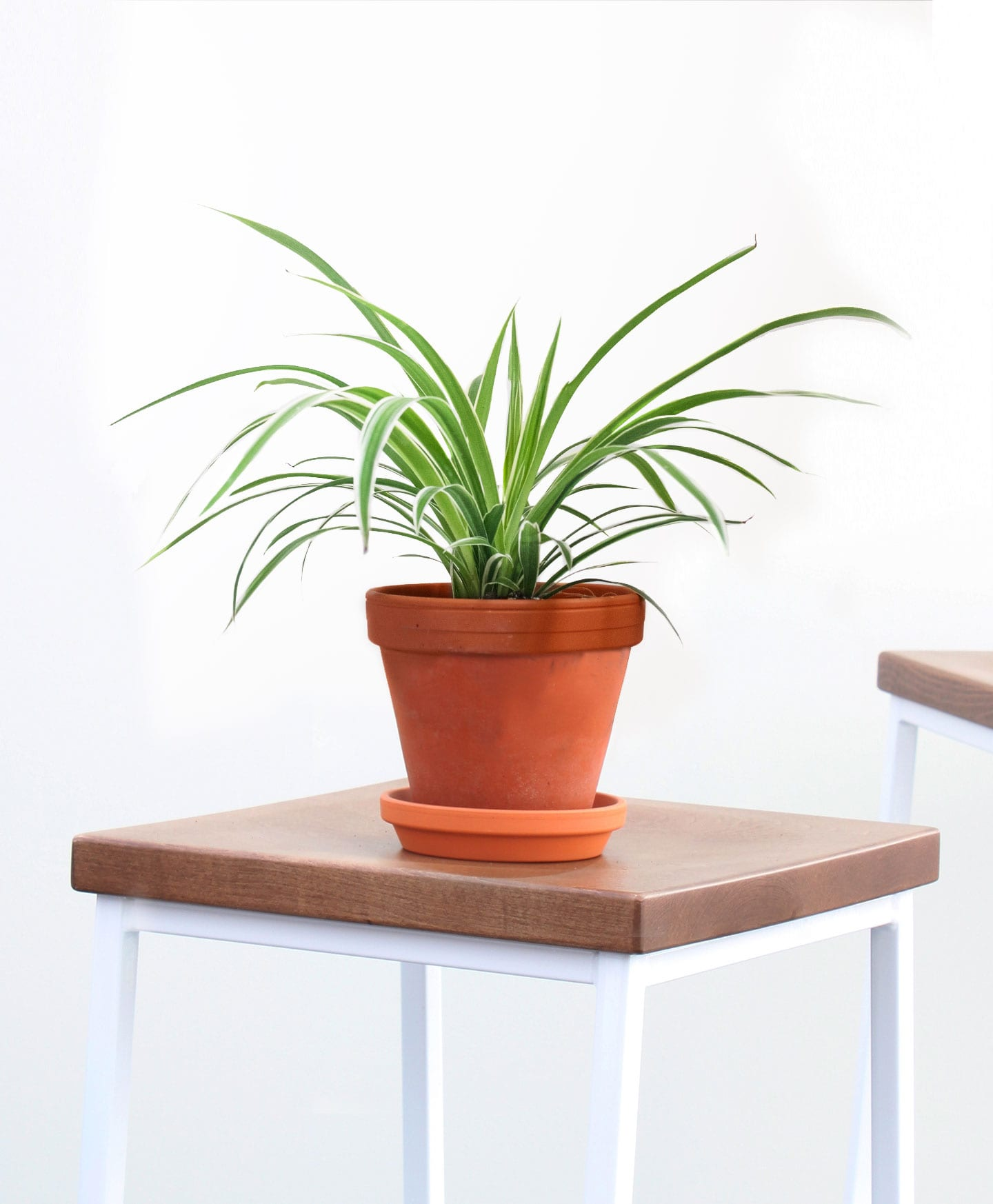 picture-of-spider-houseplant-photo2