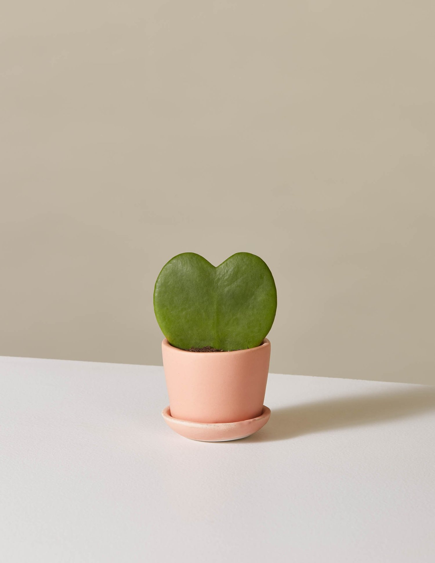 picture-of-hoya-heart-plant-photo
