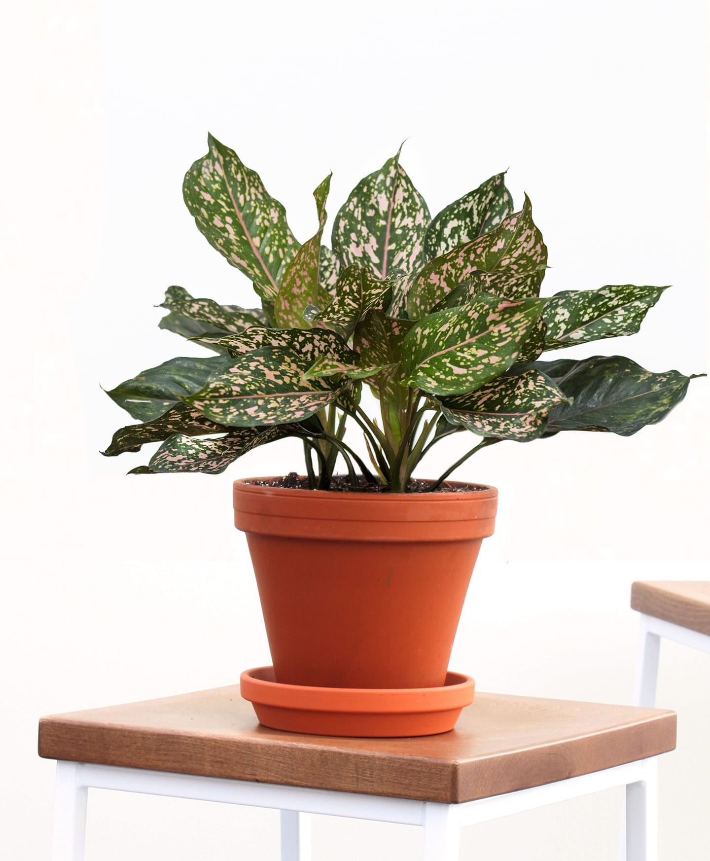 picture-of-pink-dalmatian-aglaonema-plant-photo