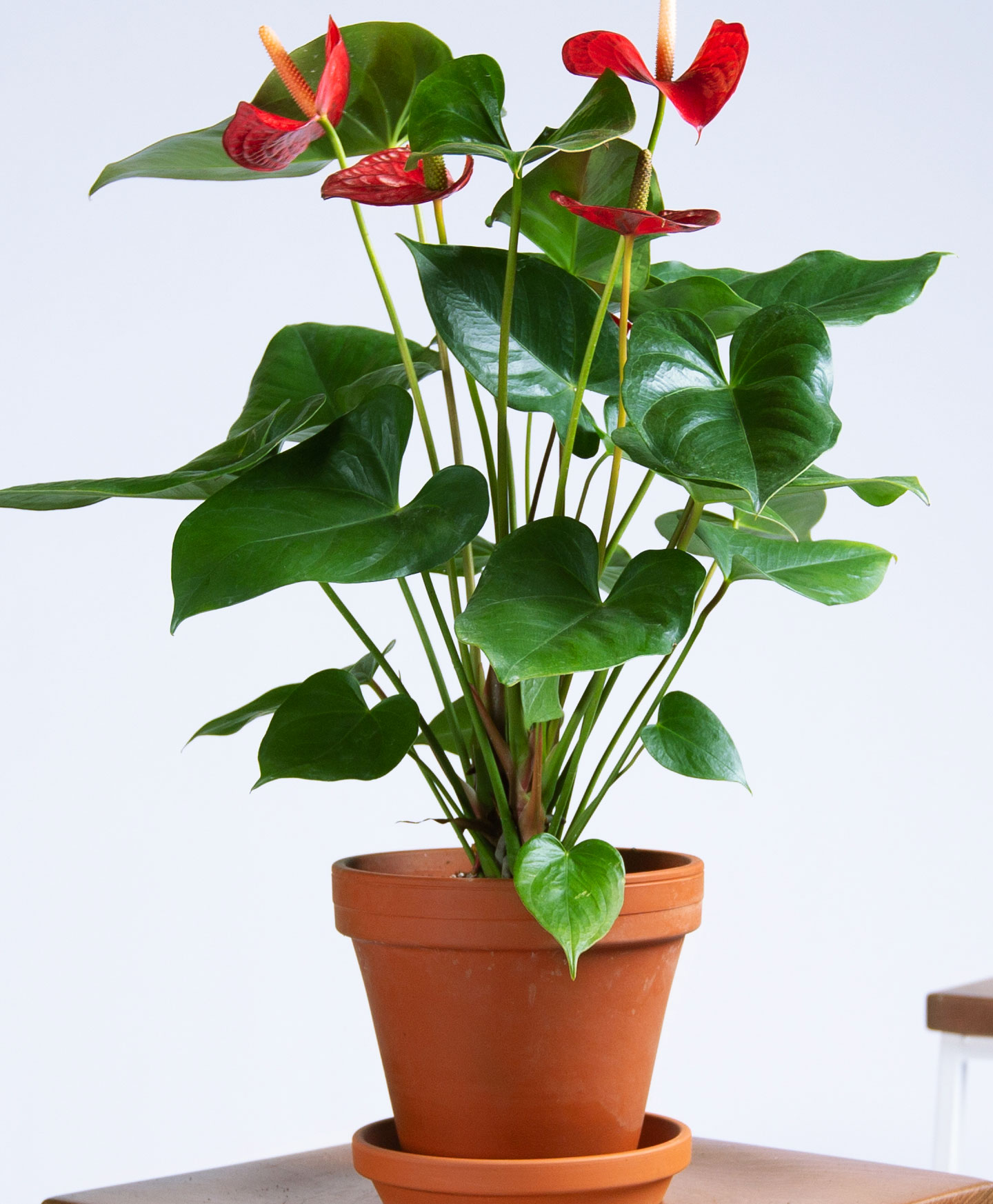 picture-of-red-anthurium-plant-photo