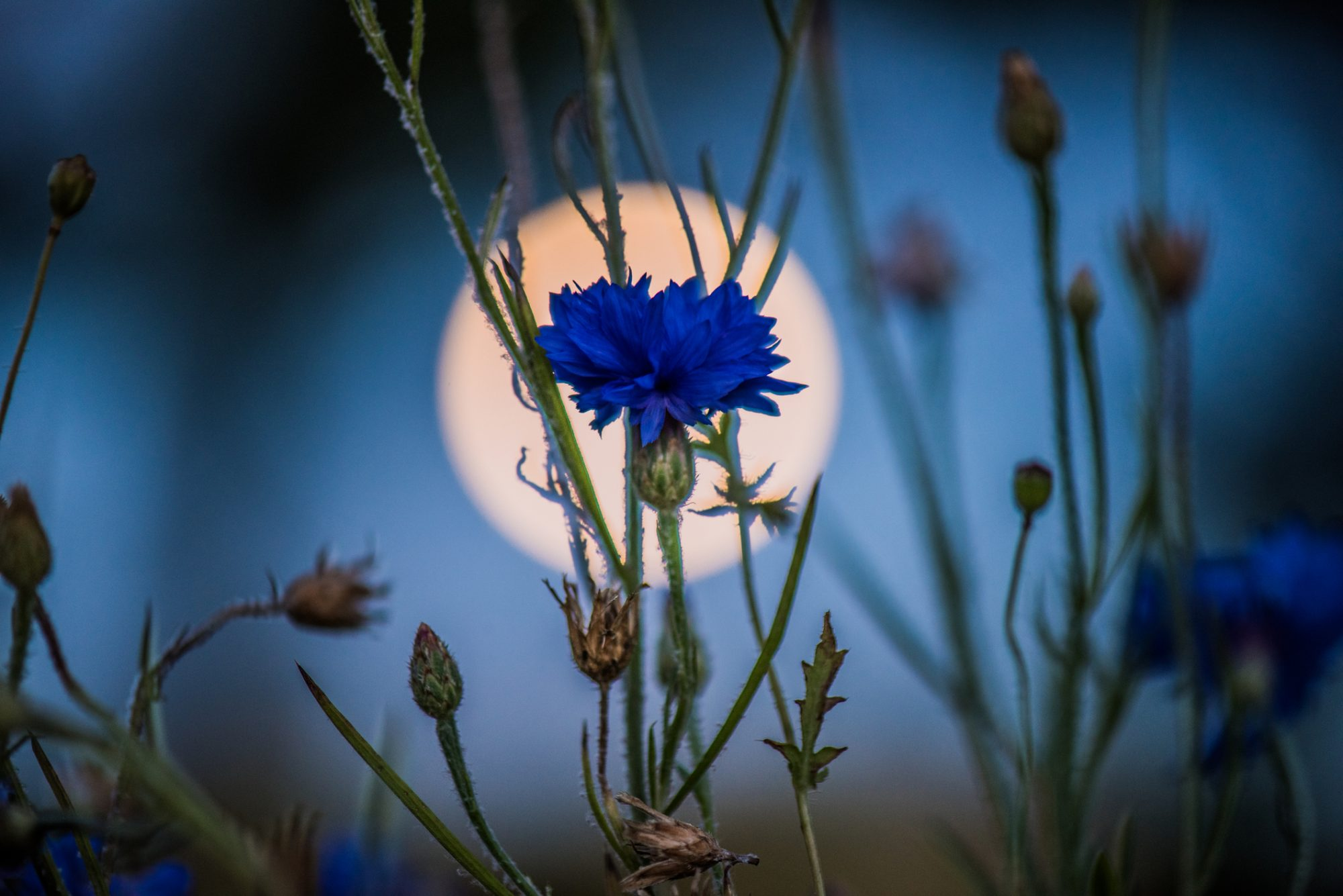 full moon and cornflower