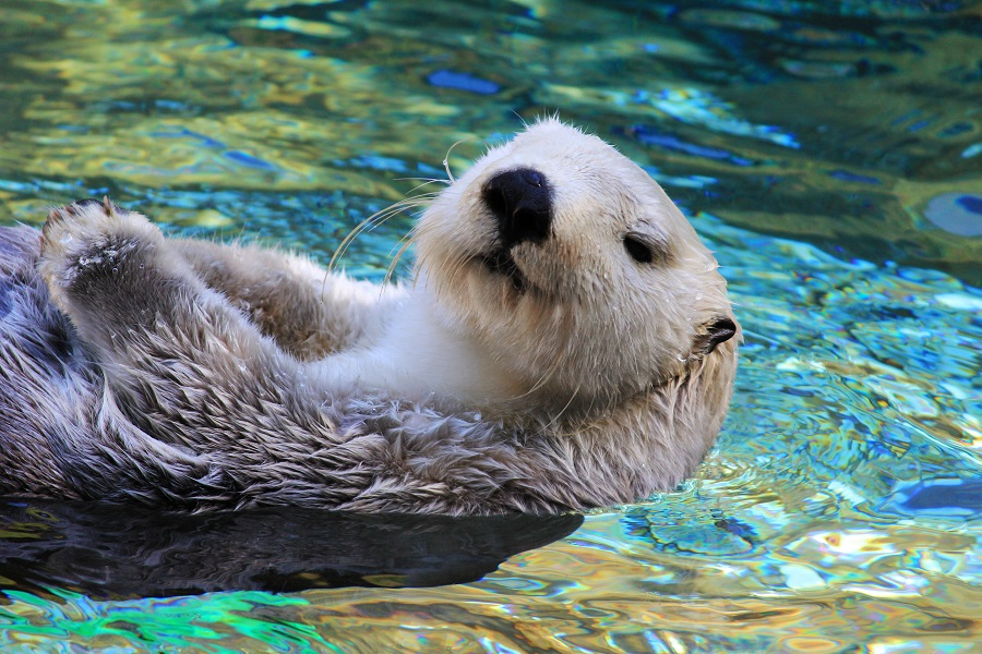 endangered species sea otter swimming