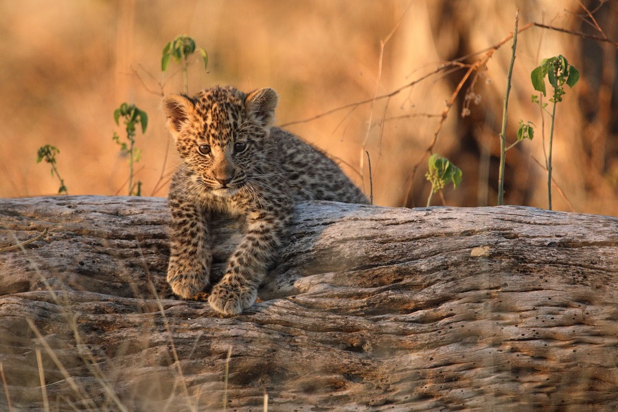 national geographic nature documentaries image of a baby leopard