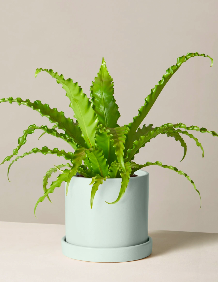 the sill plants, order online