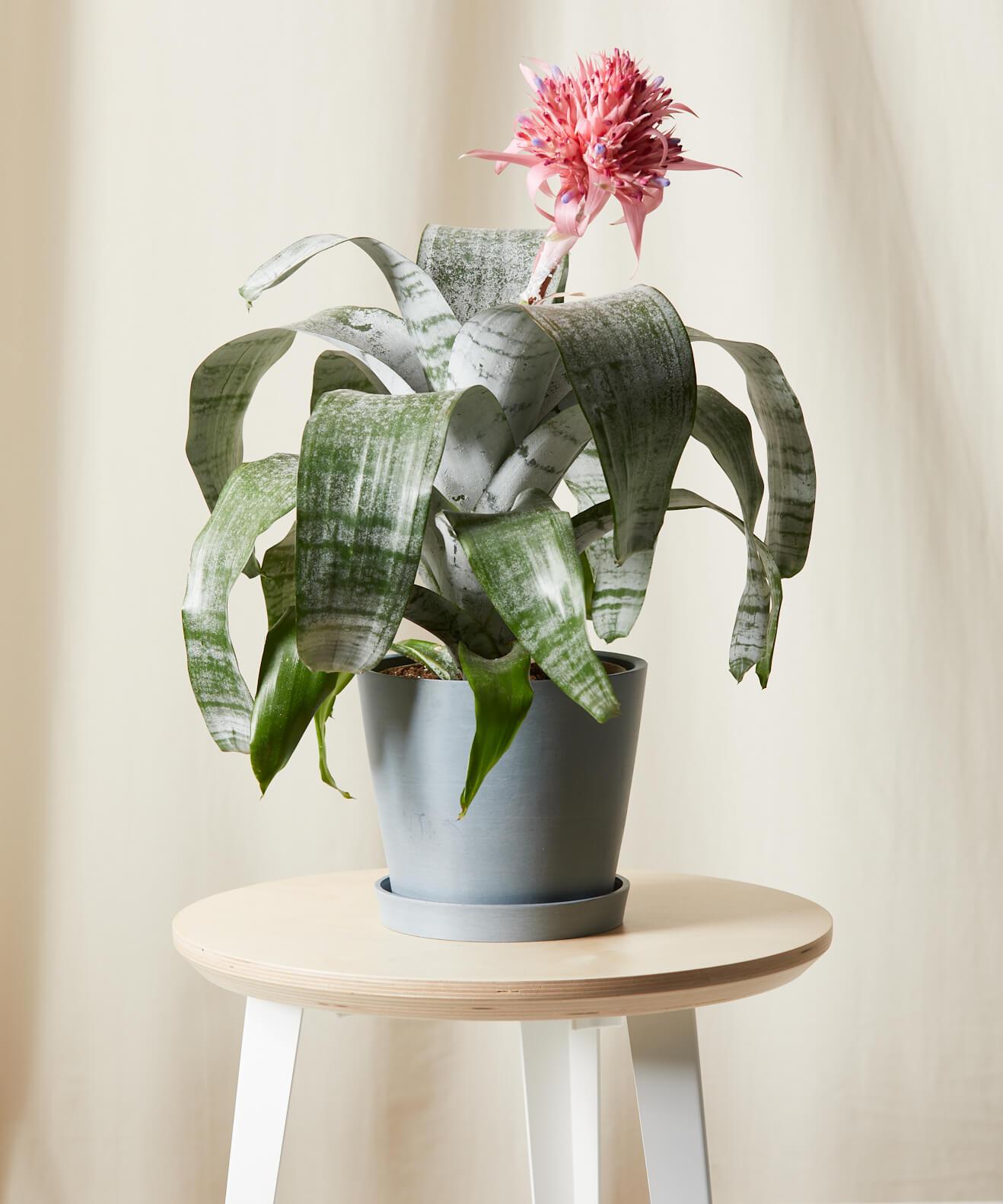 bloomscape bromeliad plant