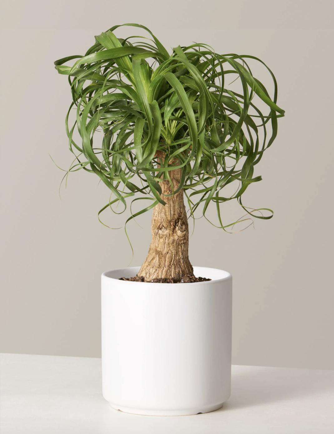 ponytail palm houseplant