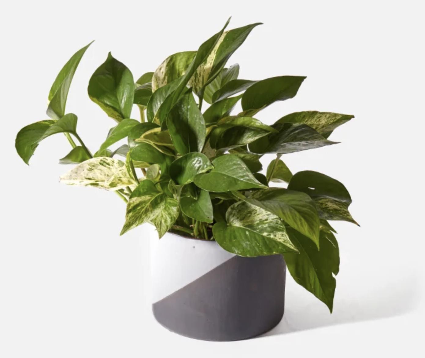 pathos plant