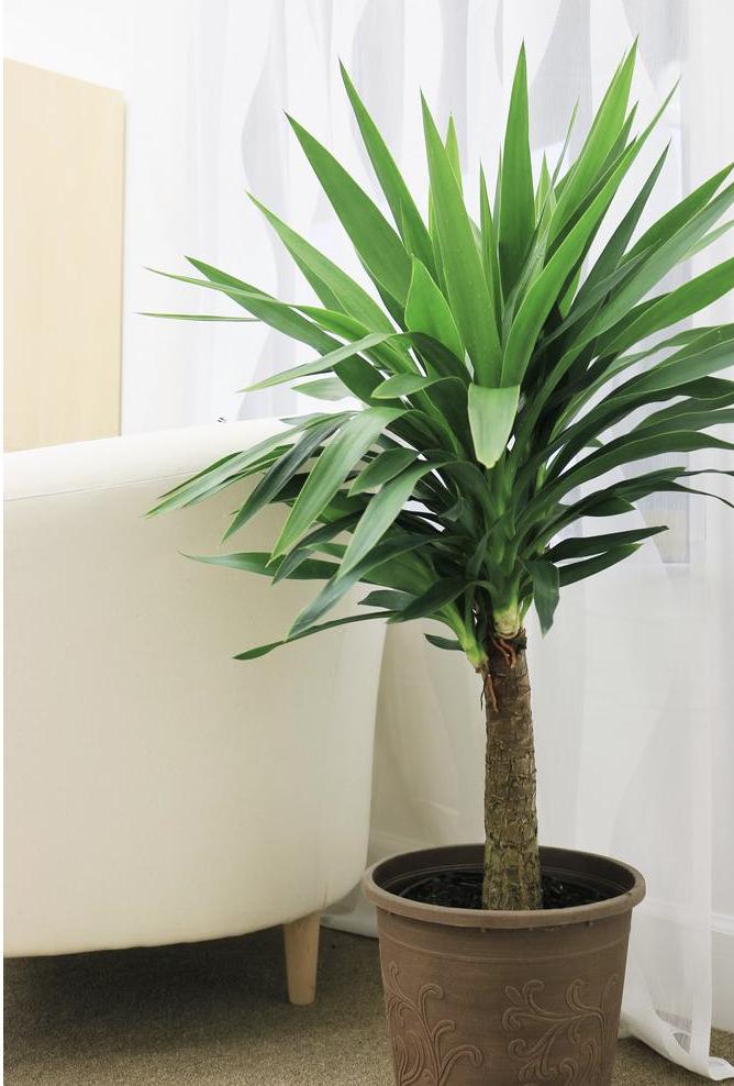 Yucca cane tree plant