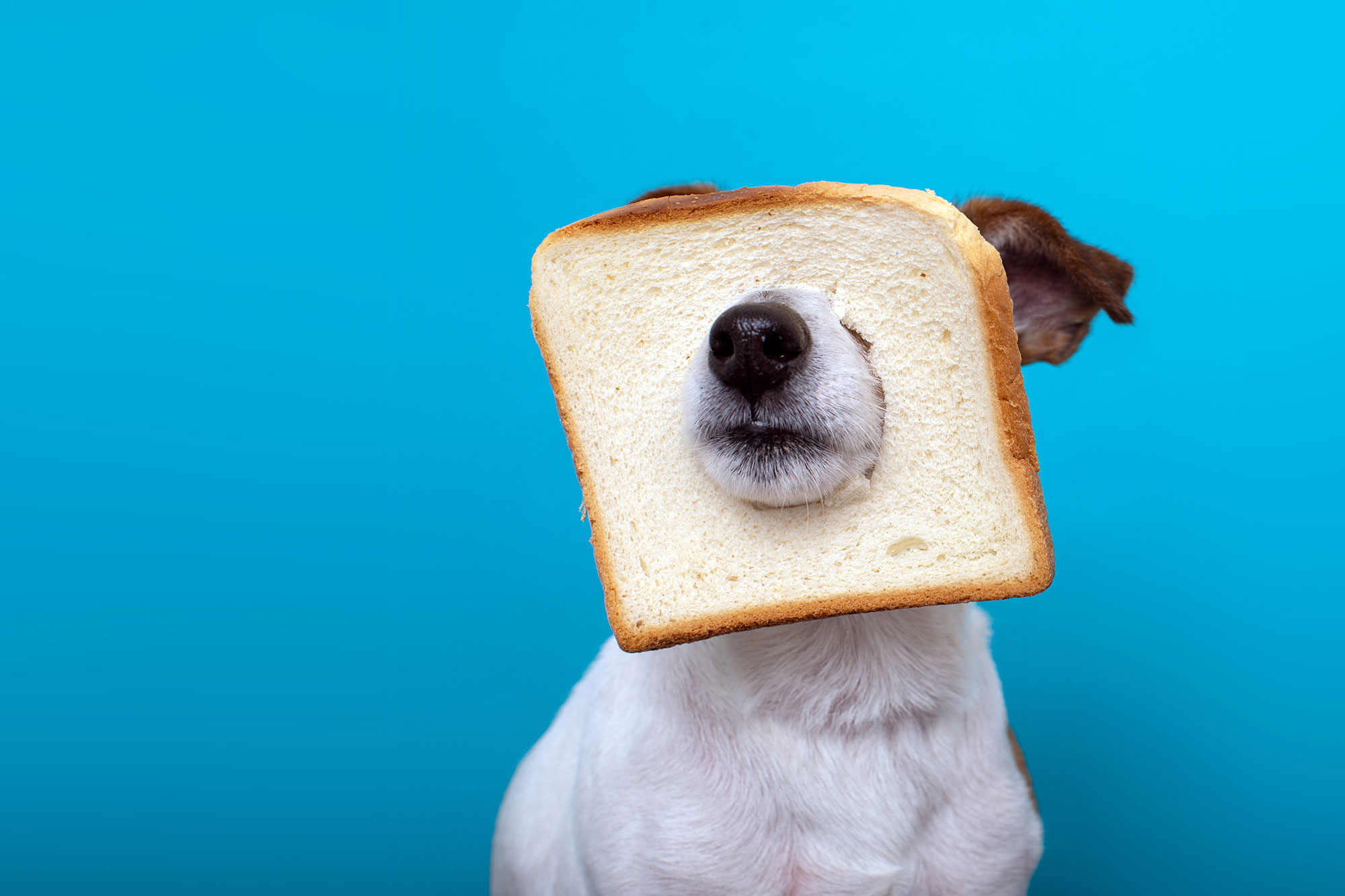 white dog with bread slice over nose