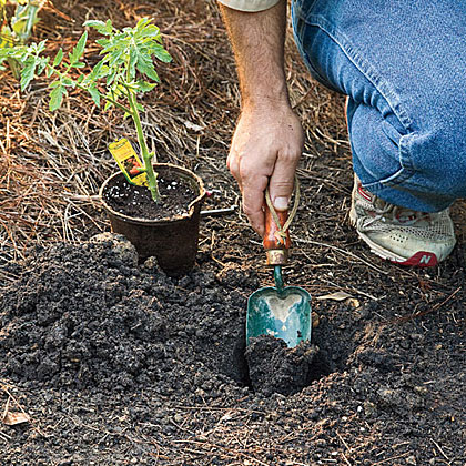 Do you recommend starting with seeds or transplanting?
