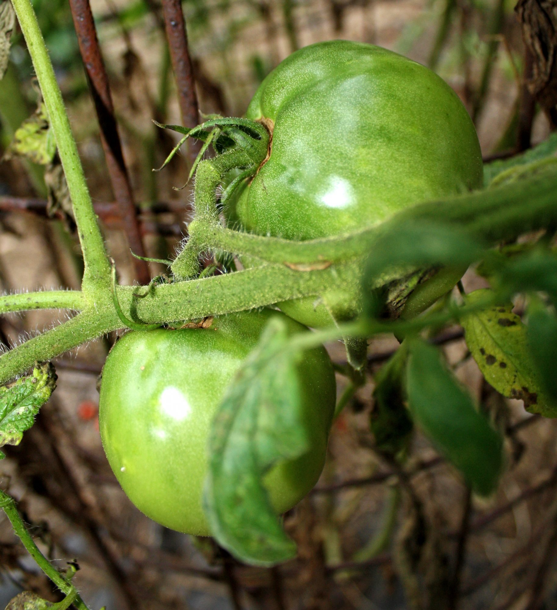 green-tomatoes-on-vine.jpg
