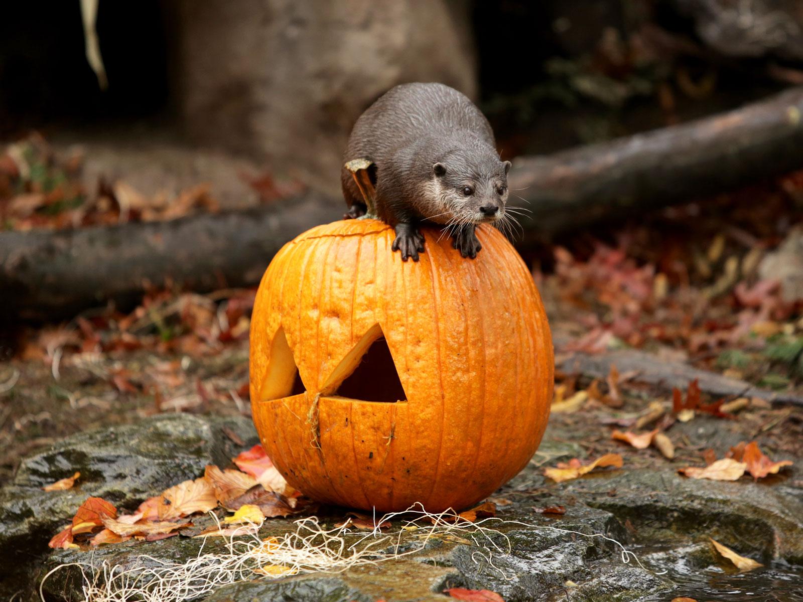 otter and a pumpkin