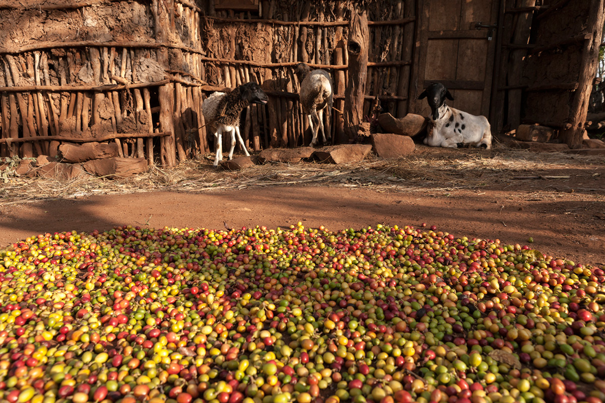 EC:  assets%2Fmessage-editor%2F1463145254573-goats-coffee-inline-getty
