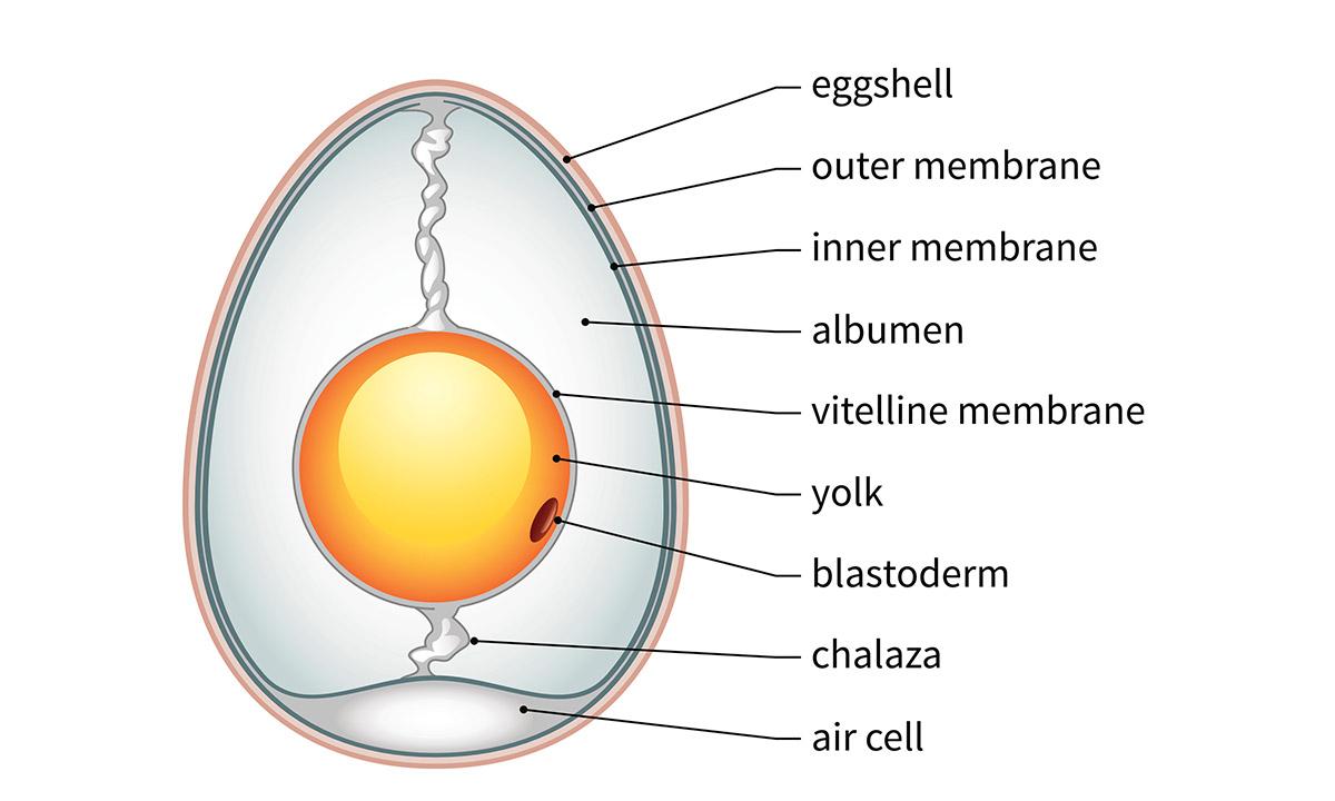 EC:  assets%2Fmessage-editor%2F1472561041960-anatomy-chicken-egg