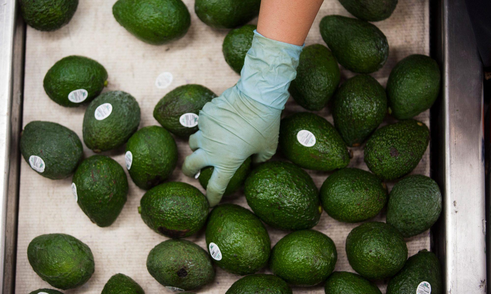 EC: Avocado Crime Wave Hits New Zealand