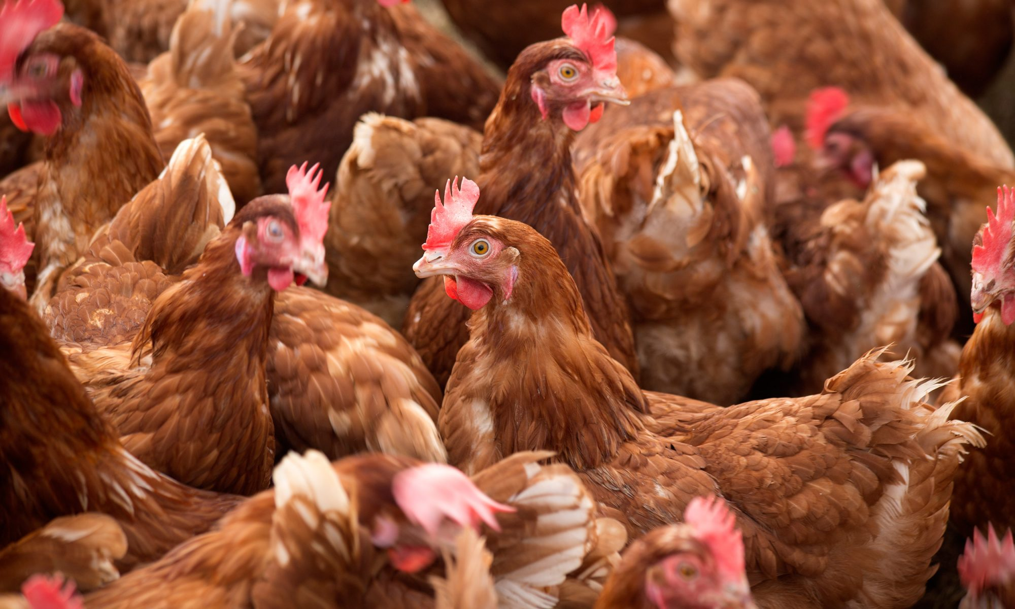 EC: Massachusetts Cage-Free Farming Referendum Passes