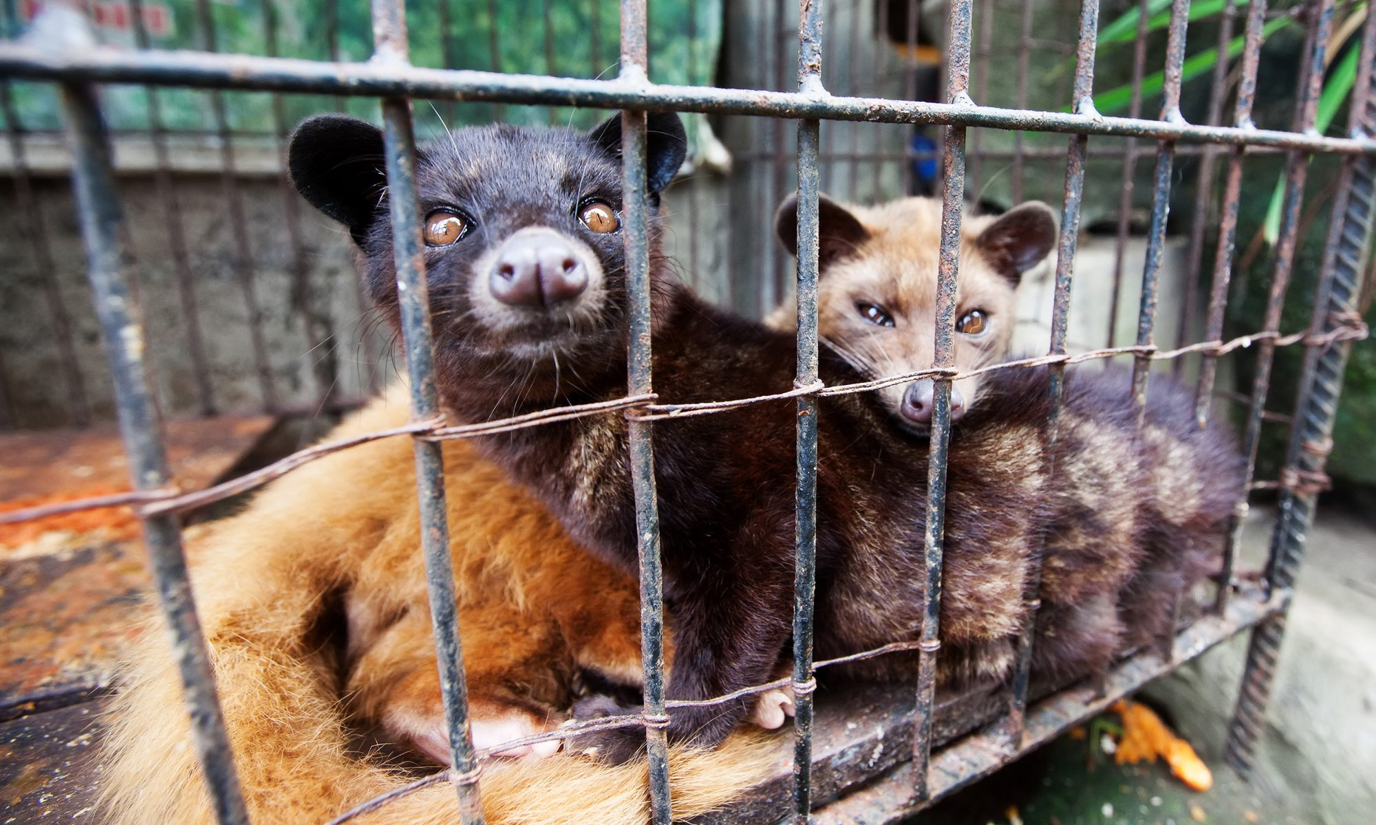EC: Civets Were Harmed in the Making of the World's Most Expensive Coffee