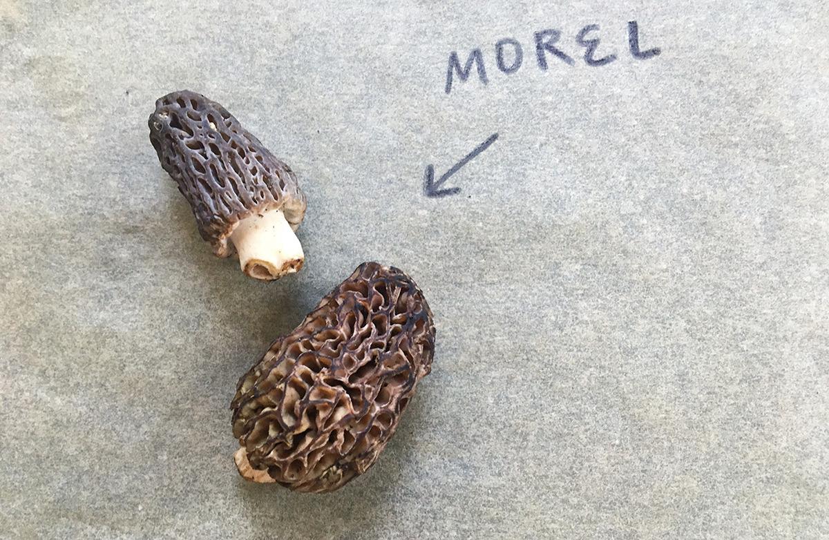 EC:  message-editor%2F1495055822708-morel-mushroom-inline