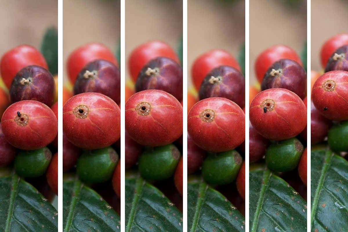 EC:  message-editor%2F1500995739859-coffee-borer-beetle-brazil-inline-wikimedia