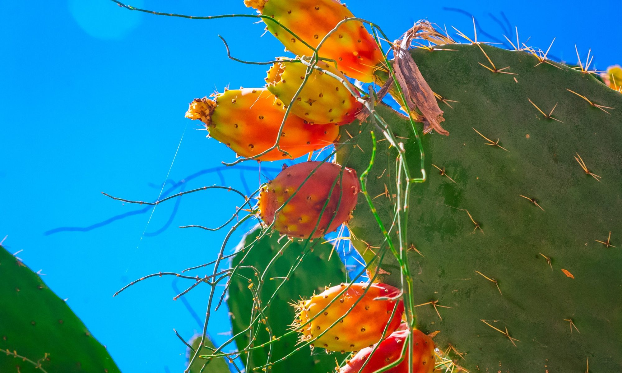 EC: What a Prickly Pear Is and Why It's in Your Frappuccino
