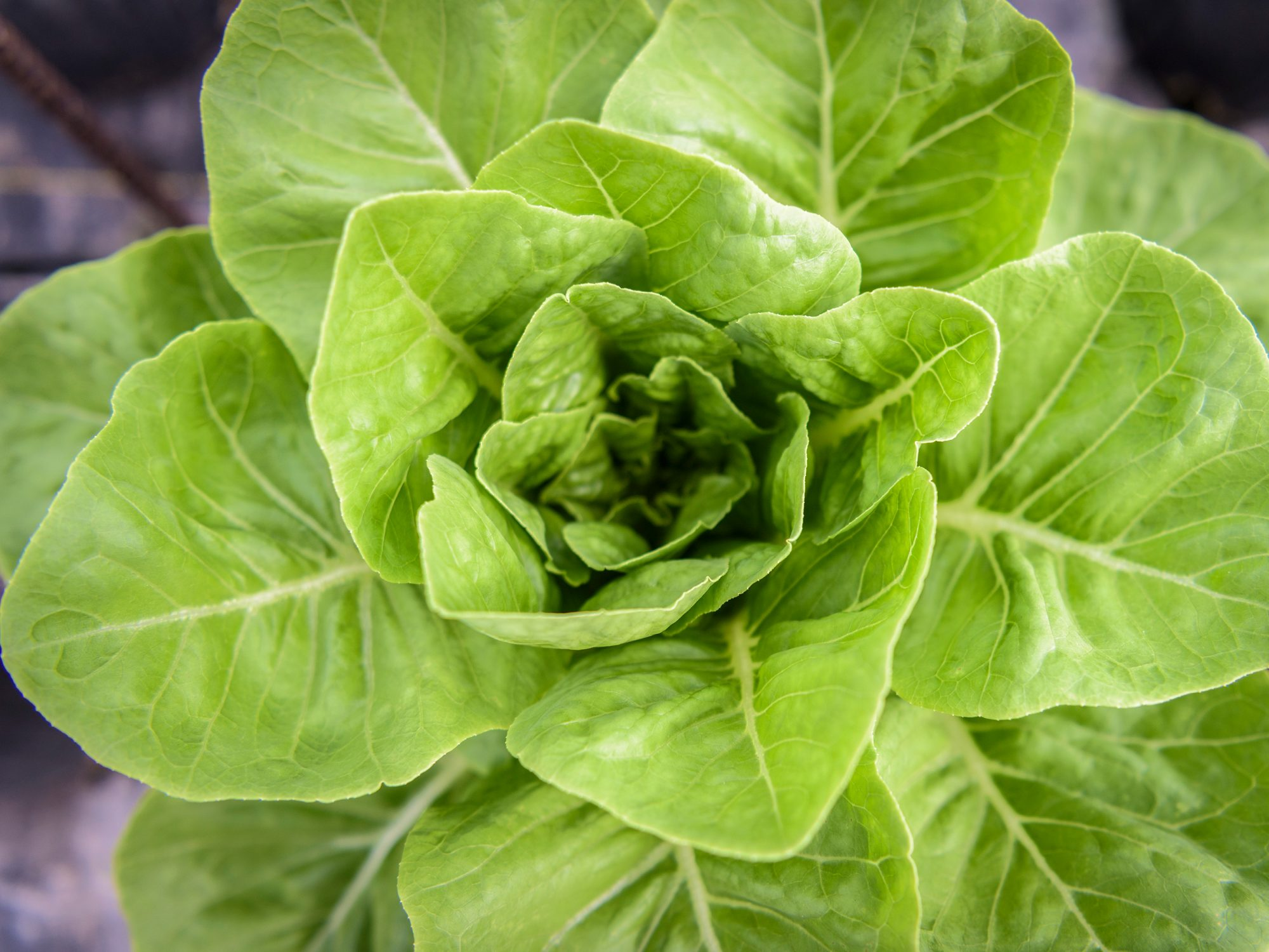 CDC Recommends Blanket Ban on ALL Romaine Lettuce, E. coli Discovered Once Again