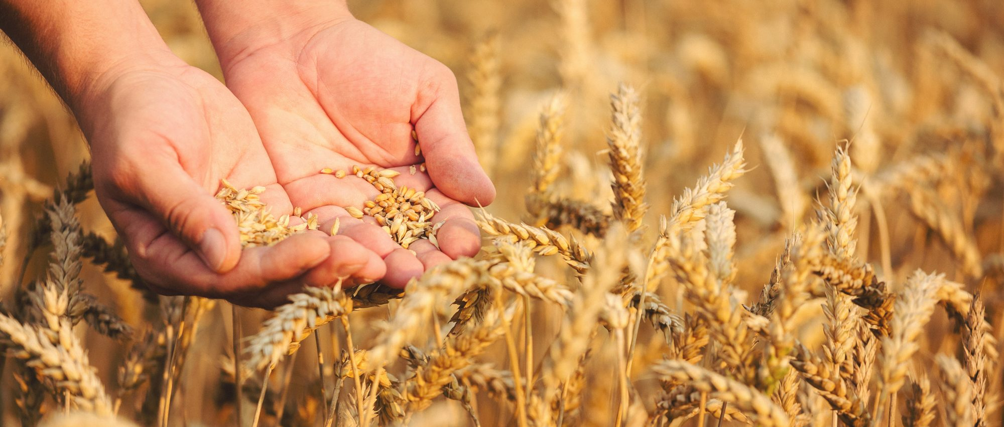 wheat-getty.jpg