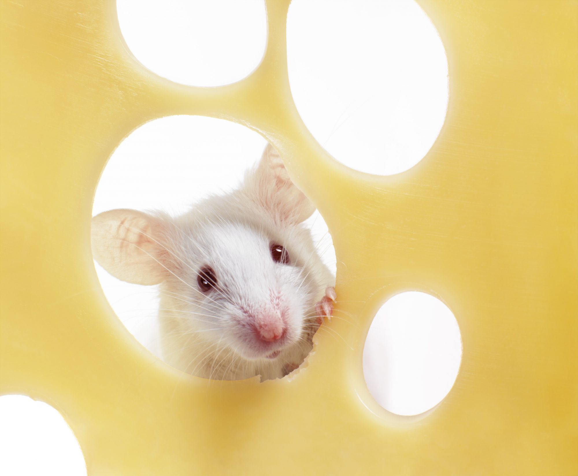 Swiss Cheese Mouse, Getty 7/9/19