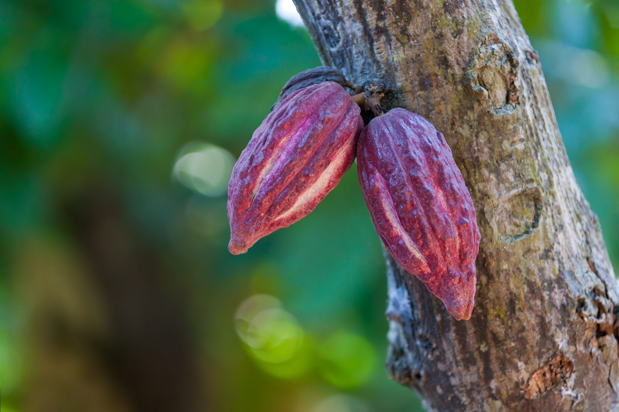 Getty Cacao Tree 8/8/19