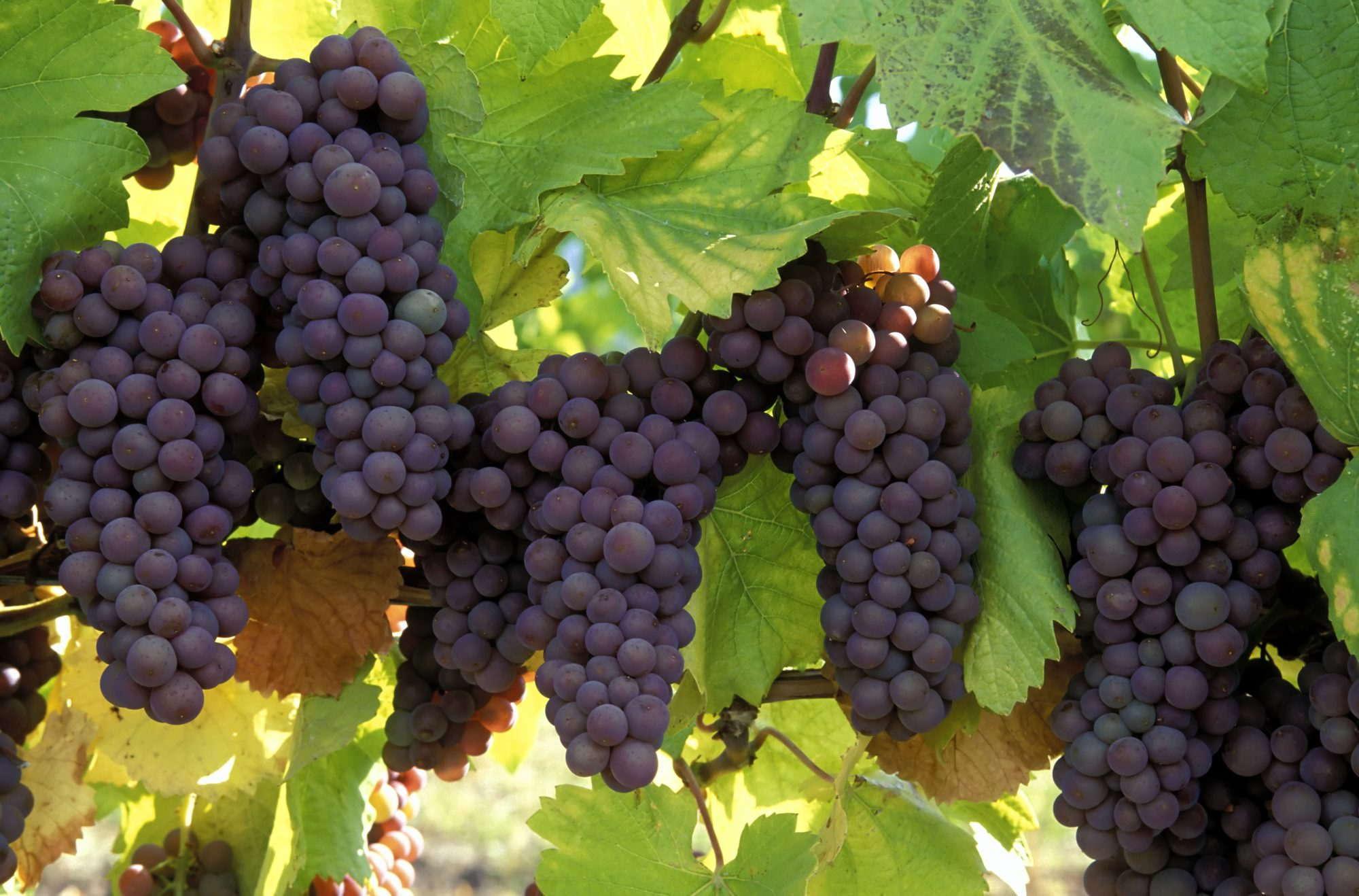 Pinot Gris Grapes Getty 10/16/19