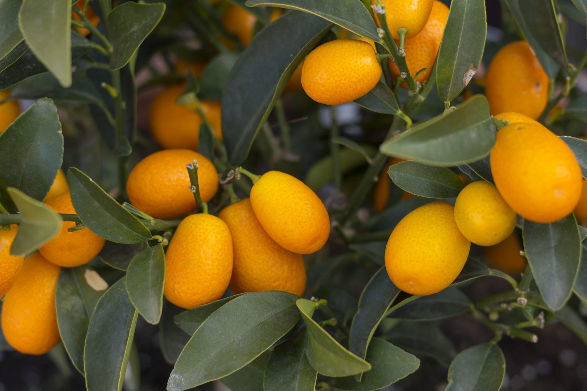 Kumquat Tree Getty 11/21/19