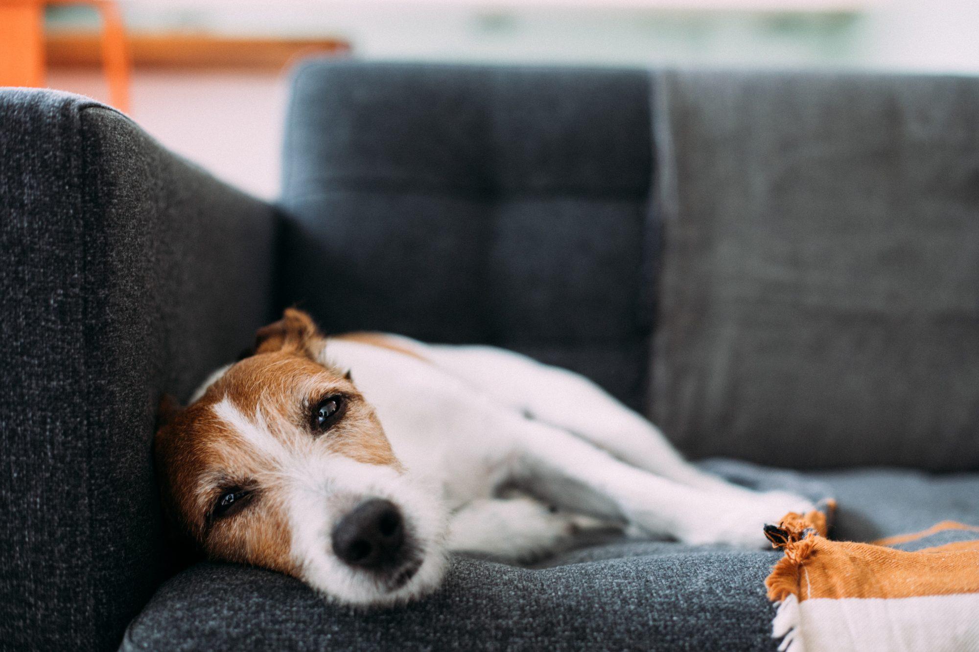 Sick Dog Getty 3/31/20