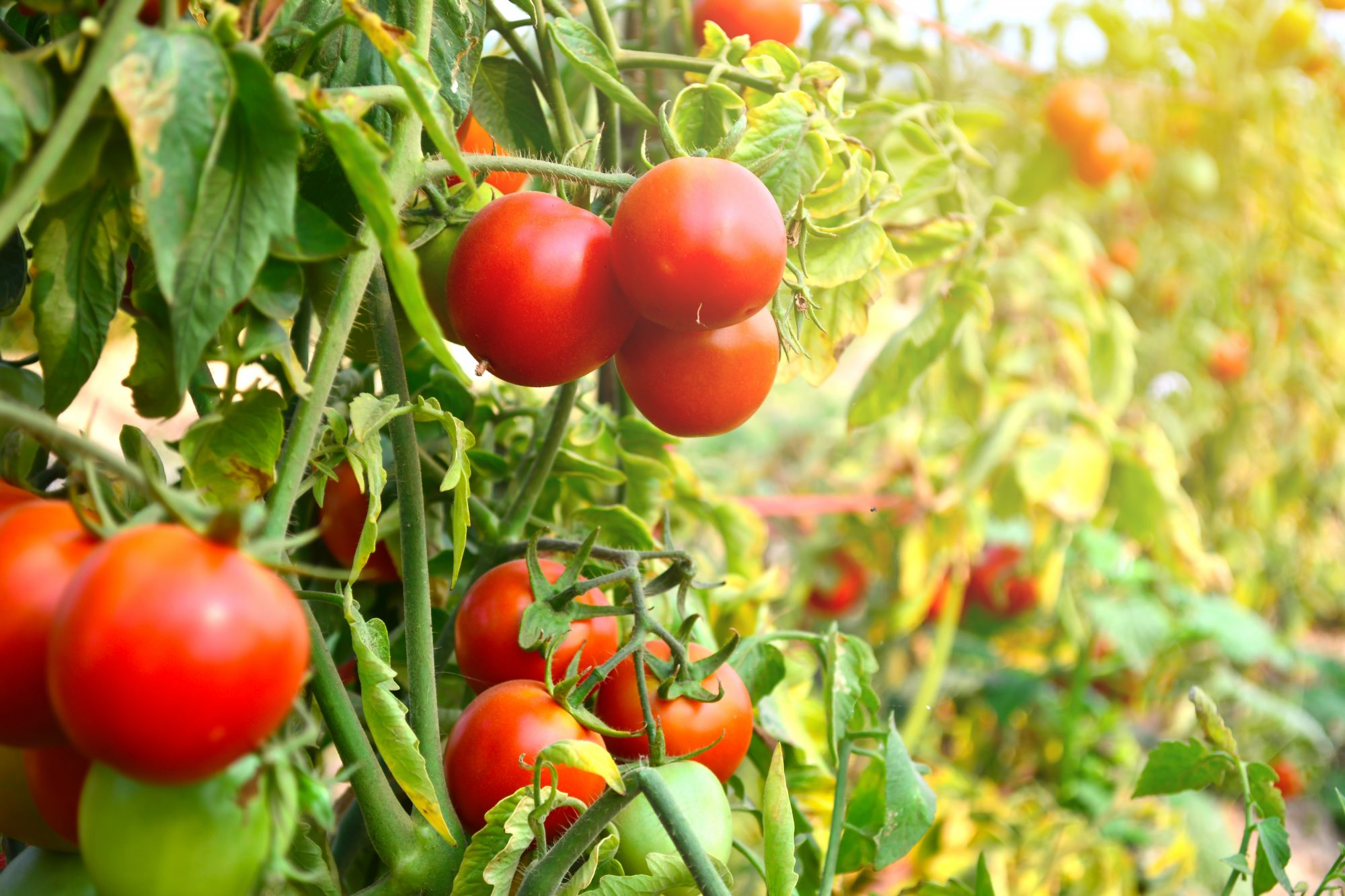 Tomatoes on vines Getty 4/20/20