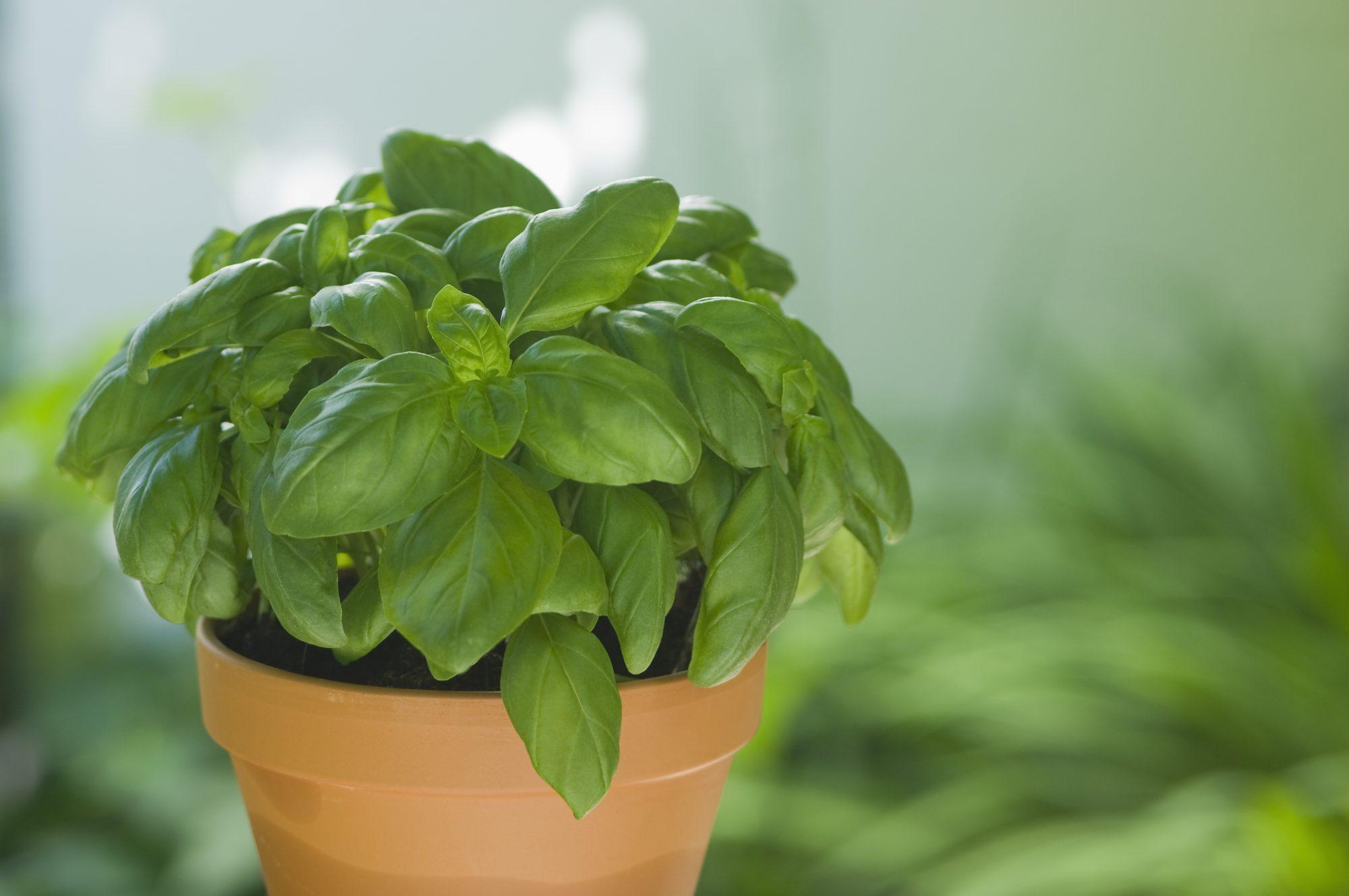Basil in pot Getty 4/24/20