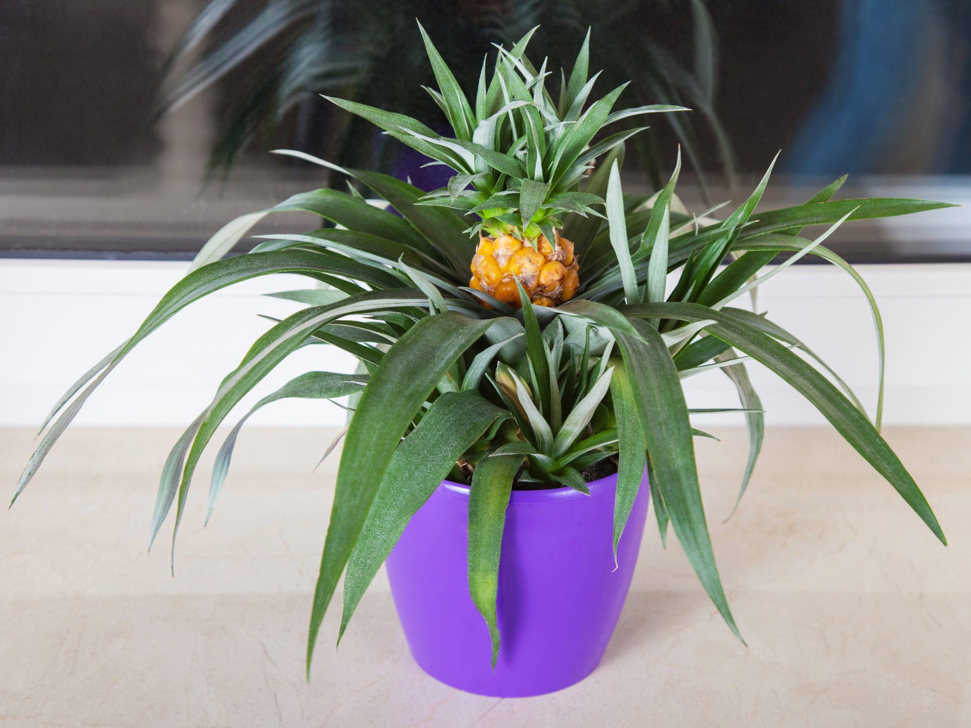 Pineapple in purple pot Getty 5/1/20