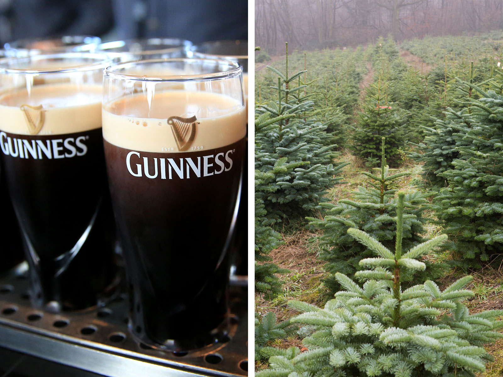 Guinness as Christmas Tree Fertilizer