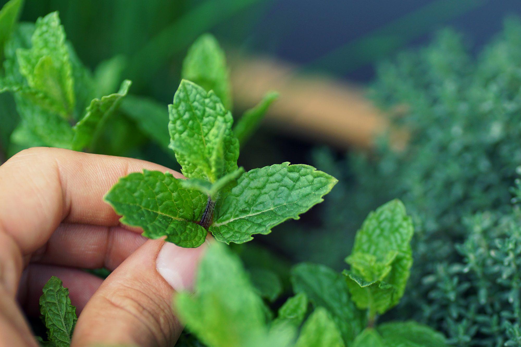 picking-mint-1225397218.jpg