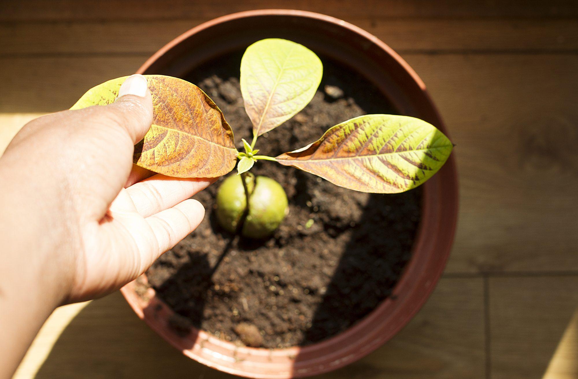 Avocado in pot sunny Getty 7/31/20