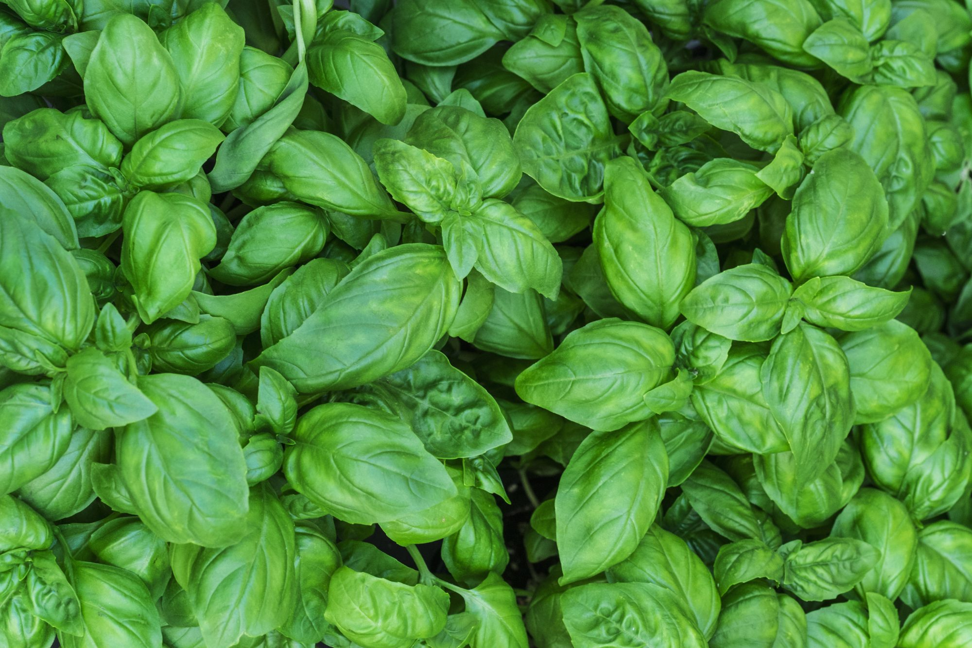 083120_Getty Basil Image