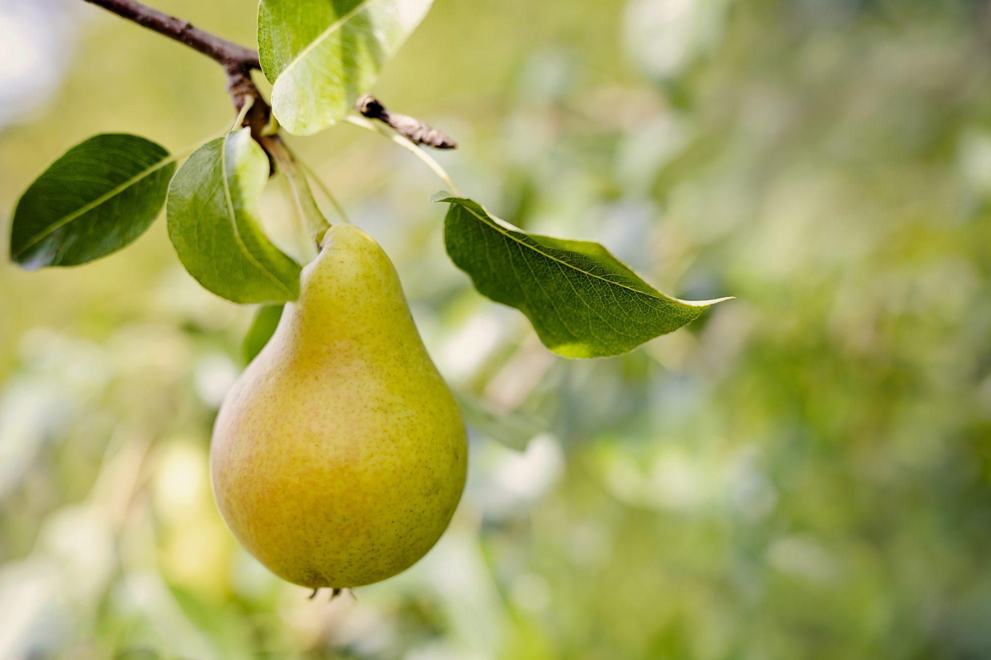 Pear on tree Getty 9/3/20
