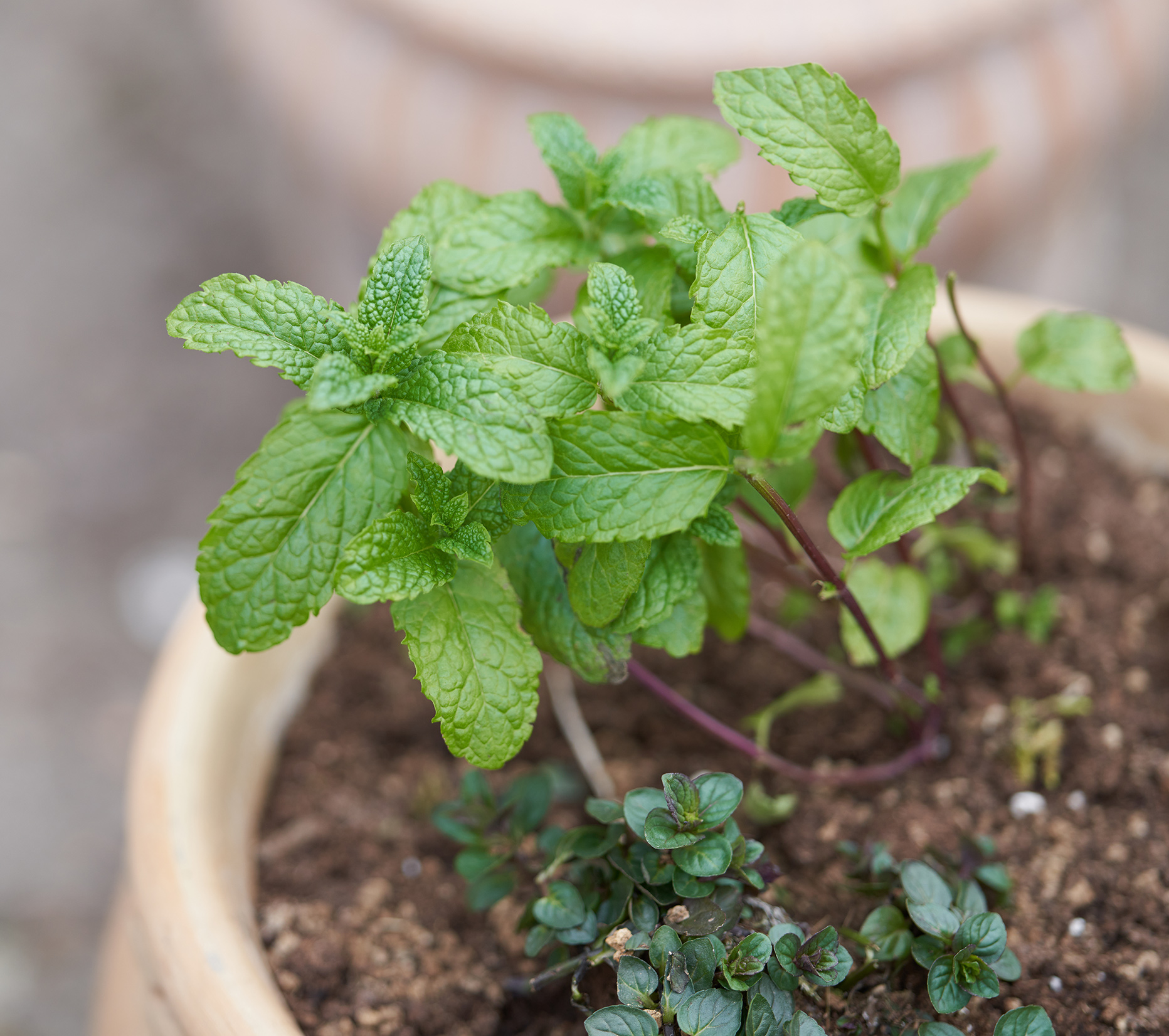 fresh mint in pot